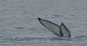 humpback identification uses these tail markings to identify individuals