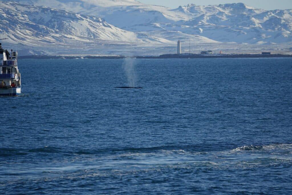 fin whale in reykjavik