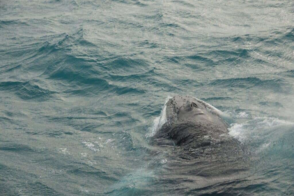 humpback whale sufacing near the super yacht amelia rose