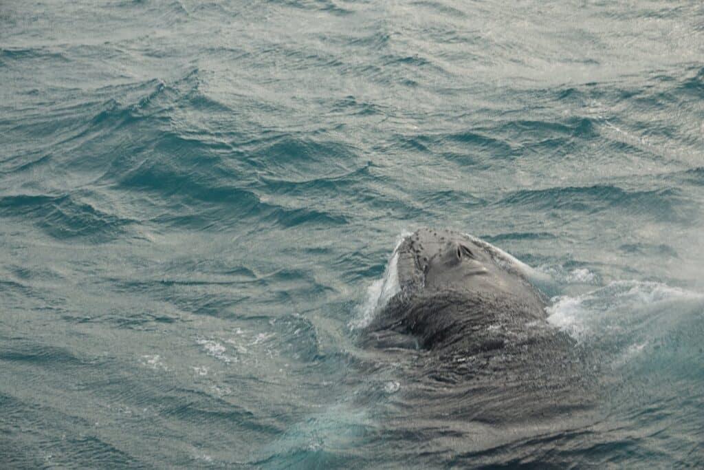 humpback whale sufacing near the super yacht amelia rose