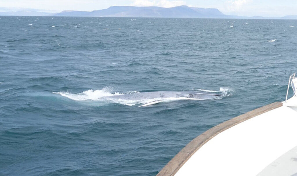 how to spot a whale icelandic animals
