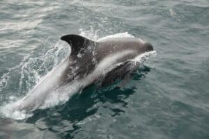 dolphin bowriding