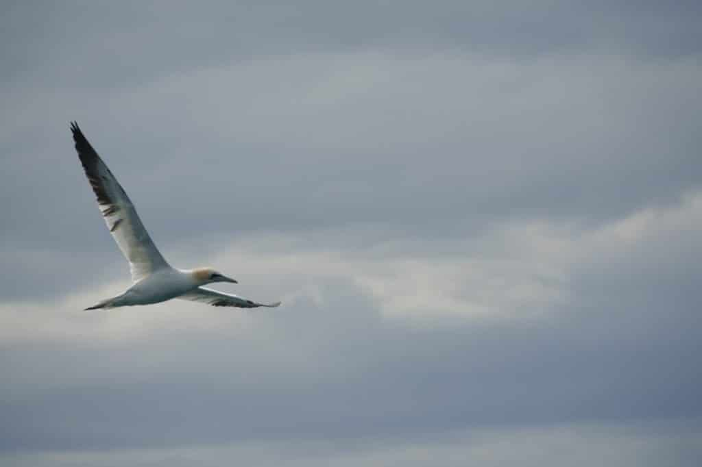 gannet - sea bird