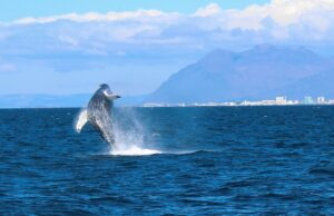 Humpback whale full breach viewed from a luxury whale watching tour from Reykjavik in Iceland