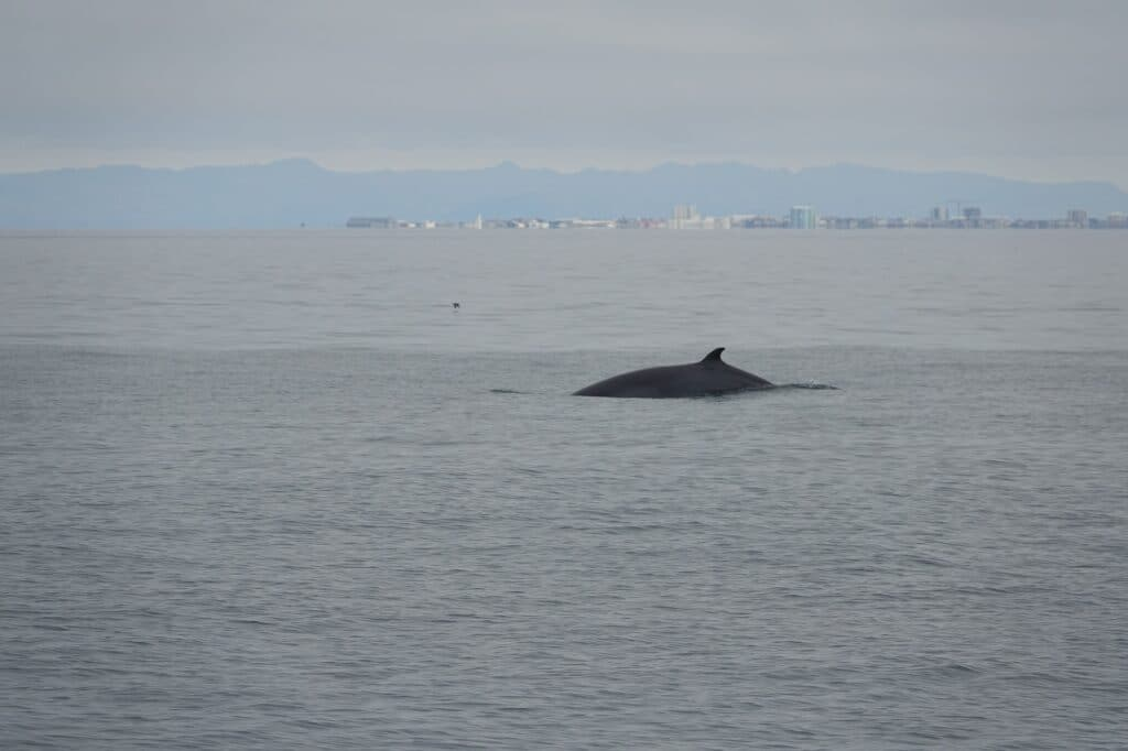 luxury Whale watching from reykjavik in Iceland minke