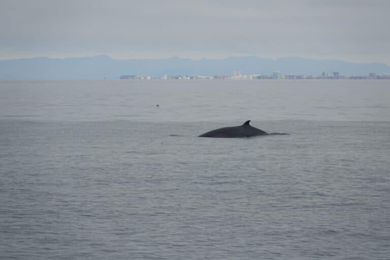 luxury Whale watching from reykjavik in Iceland minke