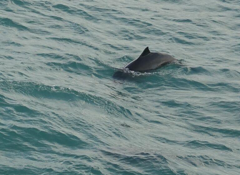 porpoise in icelandic waters