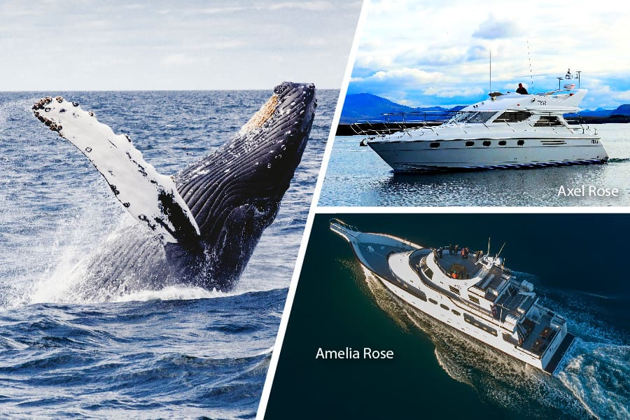 Luxury Whale Watching yacht Cruise in Iceland
