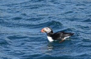 icelandic wildlife puffin on the island tour puffin trip icelandic animals puffin watching