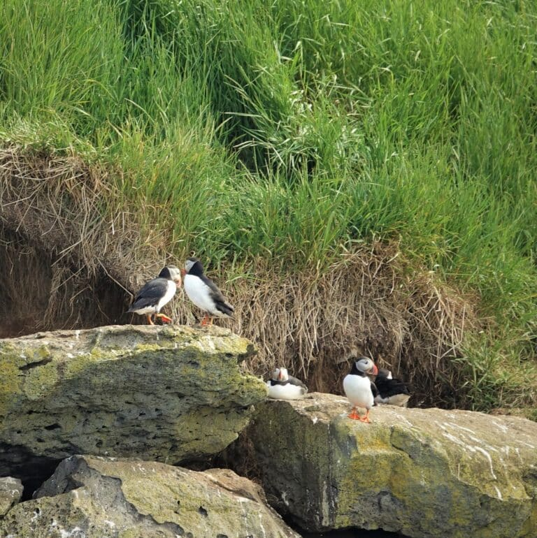 puffin pairs sitting on the rocks in their colony near reykjavik