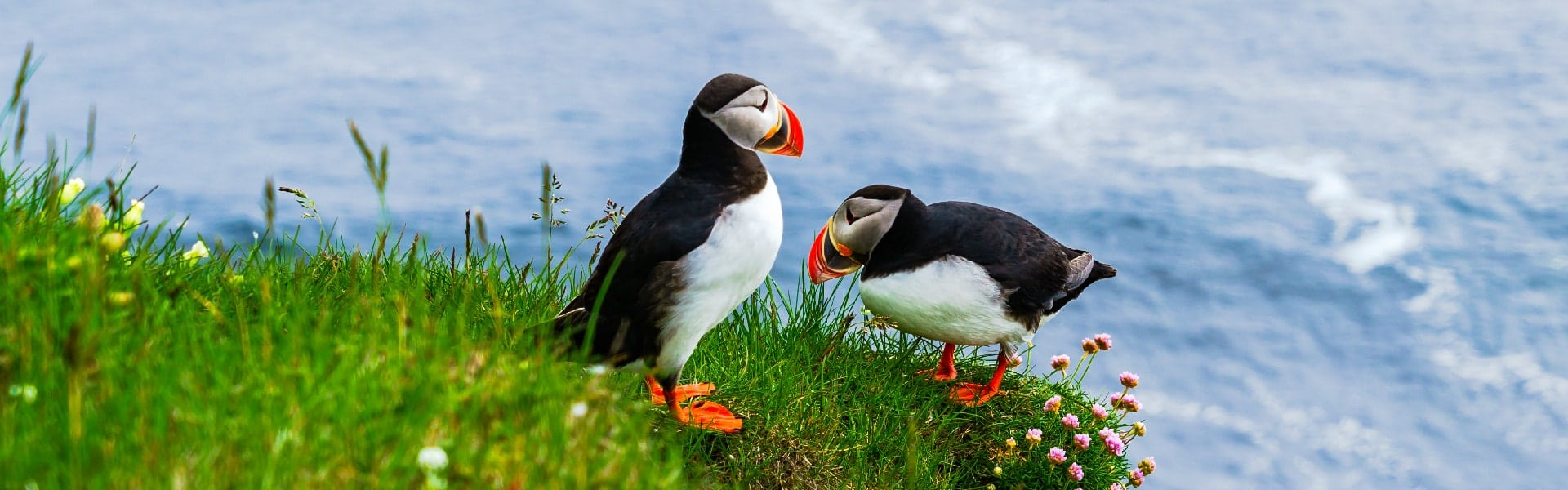 image of 2 puffins, Sea Trips Reykjavik does regular puffin tours during the breeding season using both the speedboat - RIB - and its luxury yachts