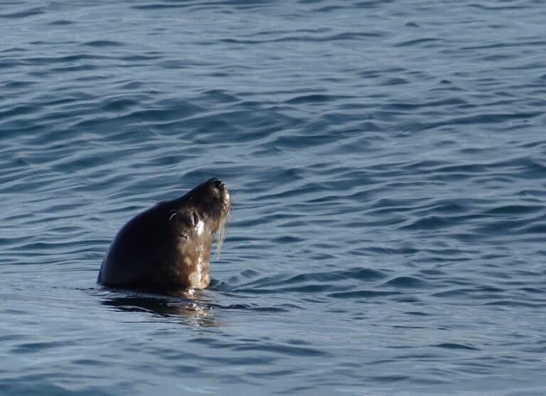 harbour seal icelandic animals