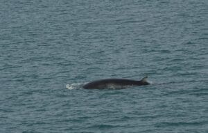 minke whale watching reykjavik iceland