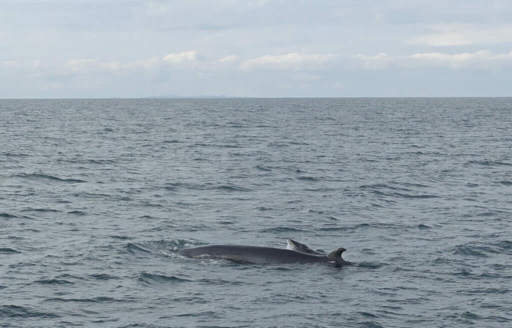 minke whale and calf being viewed from a whale watching trip with sea trips reykjavik in Iceland