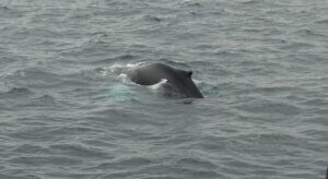 whale watching boat trip reykjavk