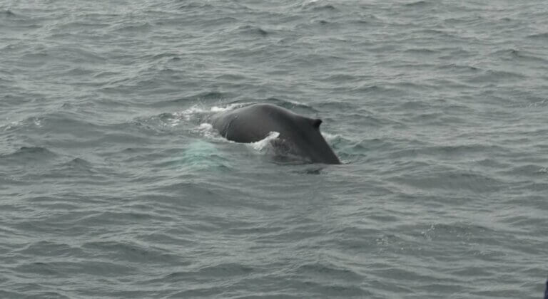 the back of a cetaceans in the ocean, view from a whale watching boat in Iceland