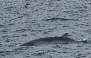 Minke whale side profile seen from a luxury yacht in iceland