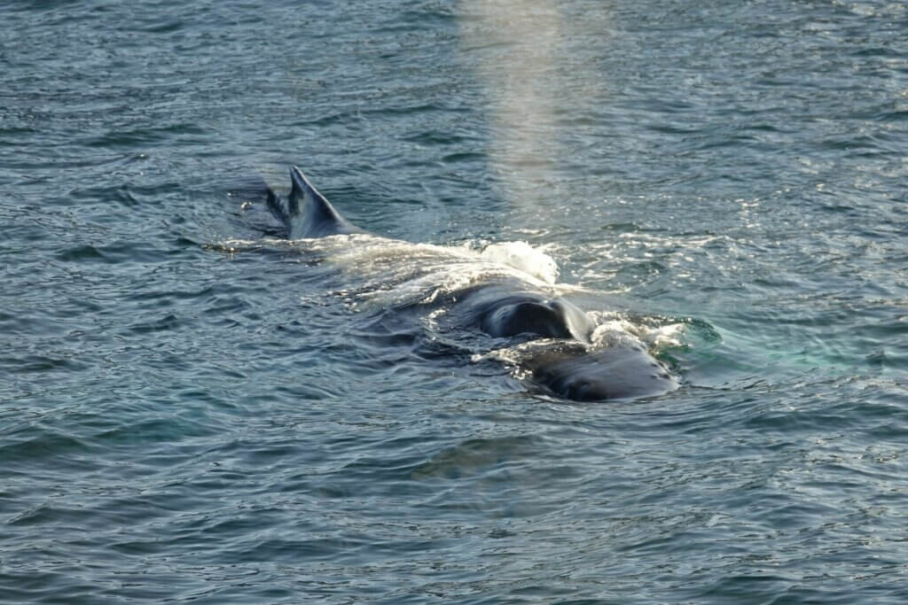 Icelandic animals humpback whale reykjavik icelandic wildlife