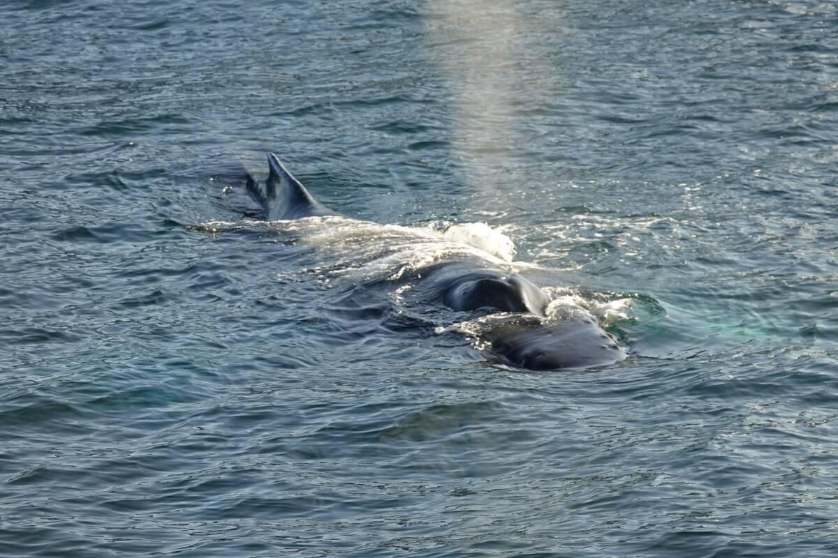 Icelandic animals humpback whale reykjavik