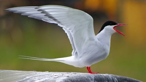 arctic tern standing with wings raised
