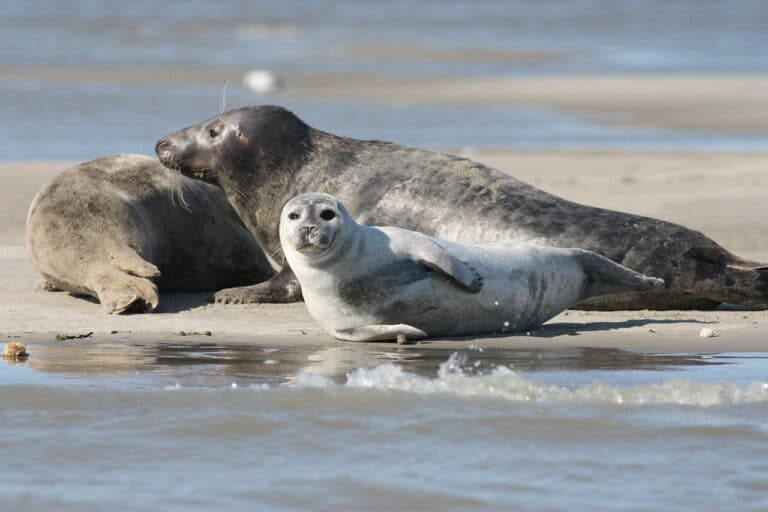 grey seal or gray seal and common seal laying on a beach