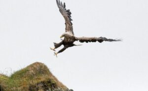 sea eagle hunting in Iceland