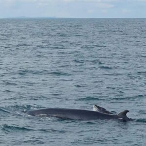 Minke whale mother and calf in iceland.
