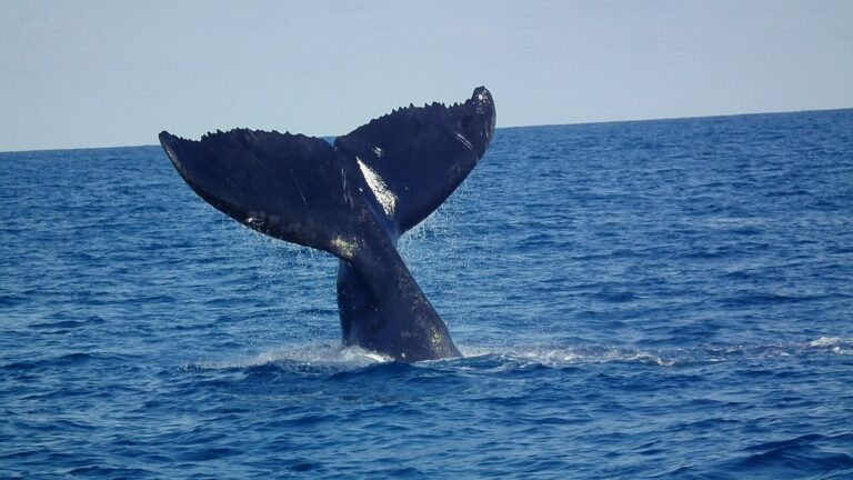 huge whale tail lifted from the water. Whale watching trips often see this behaviour.