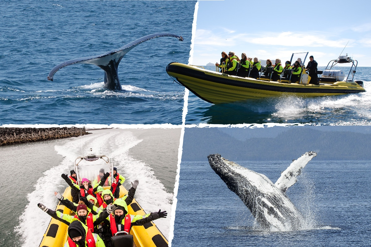 Whale Watching by RIB Speedboat from Downtown Reykjavik, Iceland